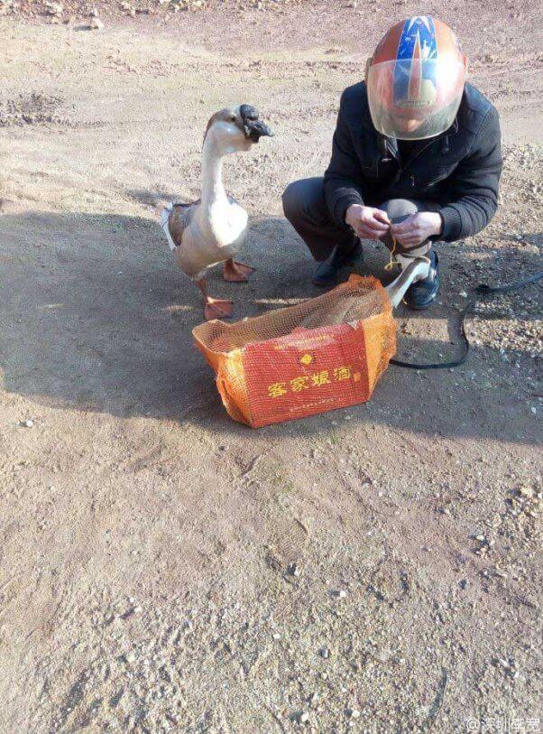 Sad-Geese-Tied-Up