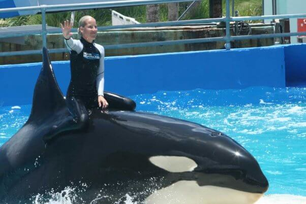trainer rides on orca lolita's back at the Miami Seaquarium