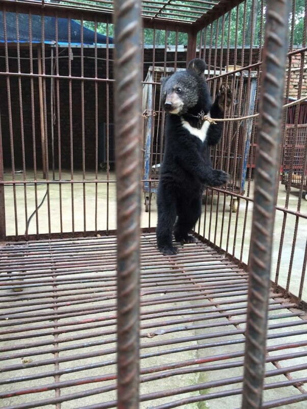 chines-circus-bear-cubs-chained-in-cage