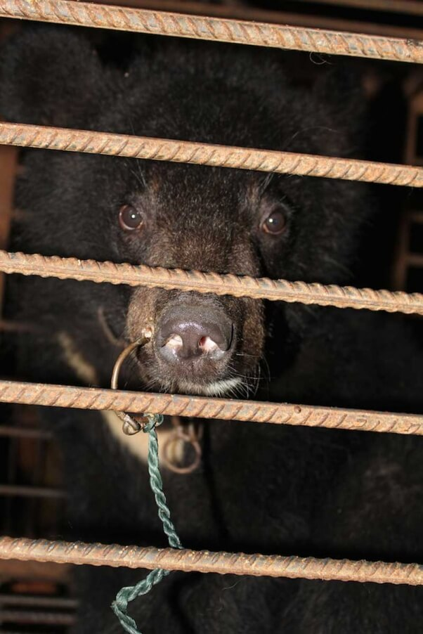 chines-circus-bear-nose-ring-cage