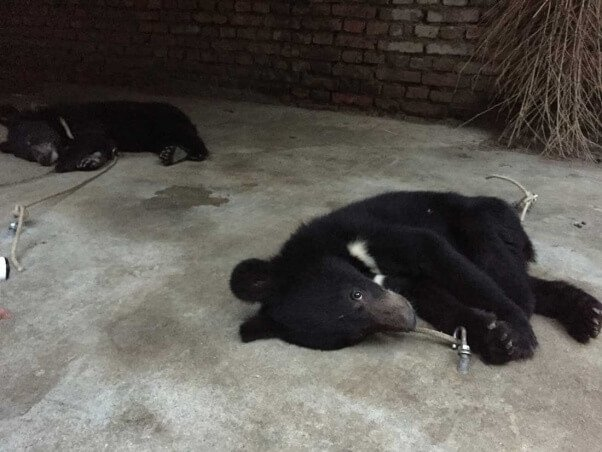 chines-circus-bear-teathered-to-ground