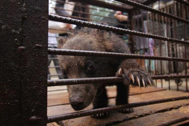 chinese-circus-bear-peaking-through-cage