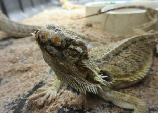 emaciated lizard at PetSmart dealer