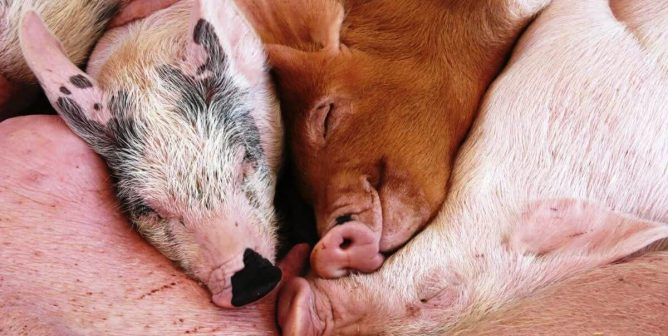 Pigs Are Not Your Spare Parts