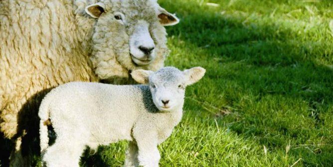 De oveja a suéter—El verdadero precio de la lana