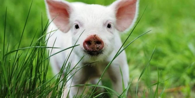 """Actor James Cromwell: """"Give Pigs a Break This Easter"""""""