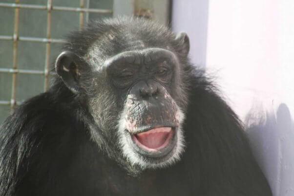 Tarzan at Save the Chimps