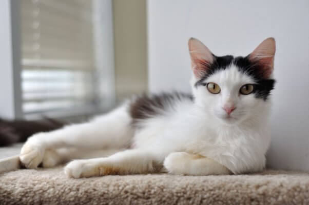 Pippa, a cat available for adoption