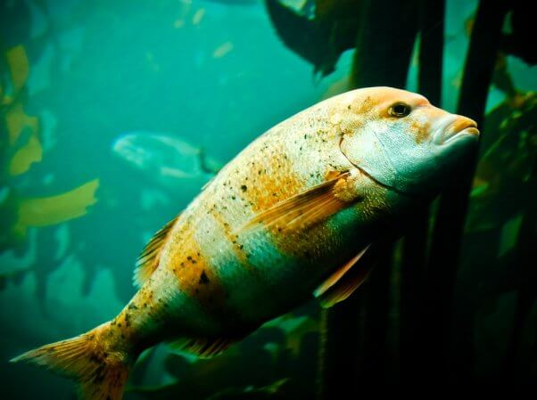 aquarium-red-snapper