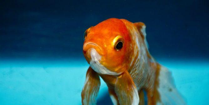 Why Fish Make Sad Classroom 'Pets'