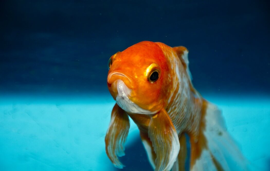 Why Fish Make Sad Classroom Pets Peta