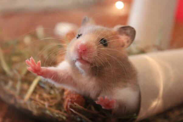 9 facts you need to know before considering a pet hamster peta