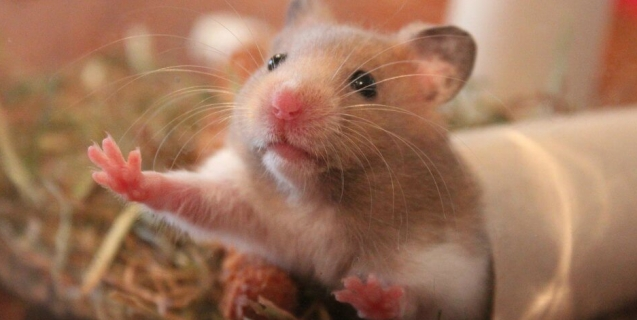 9 Facts You Need To Know Before Considering A Pet Hamster