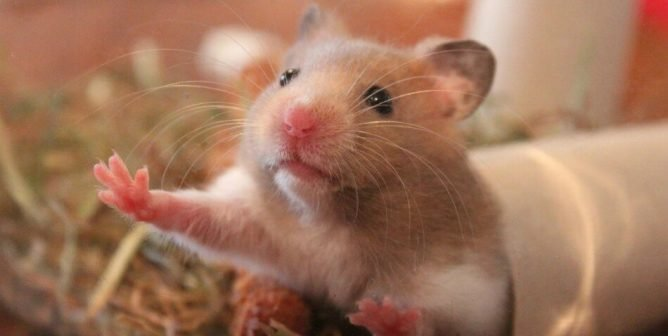 9 Facts You Need to Know Before Considering a 'Pet' Hamster | PETA