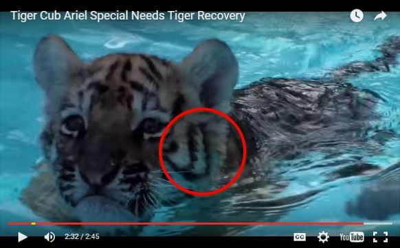 After: The two stripes are connected, proving this tiger is not Ariel.