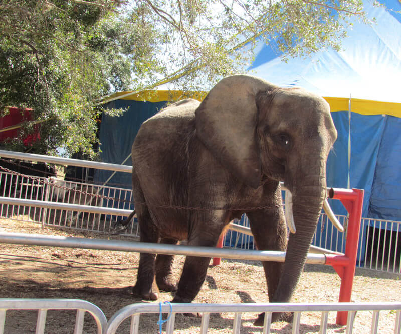 2017: Nosey the Elephant Seized from Hugo Liebel and Sent to Sanctuary