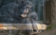Did This North Korean Zoo Hook a Chimpanzee on Cigarettes to Sell Tickets?