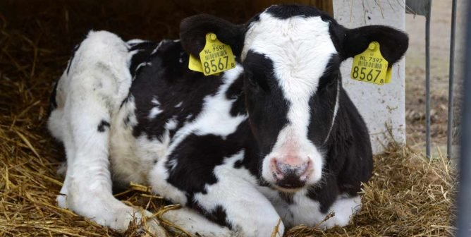 Five Years Later, Danone Is Still Letting Calves Suffer