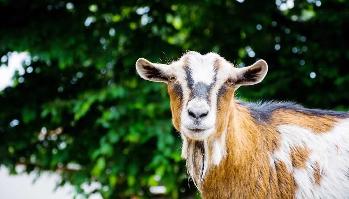 Brown and white goat in front of tree facing camera