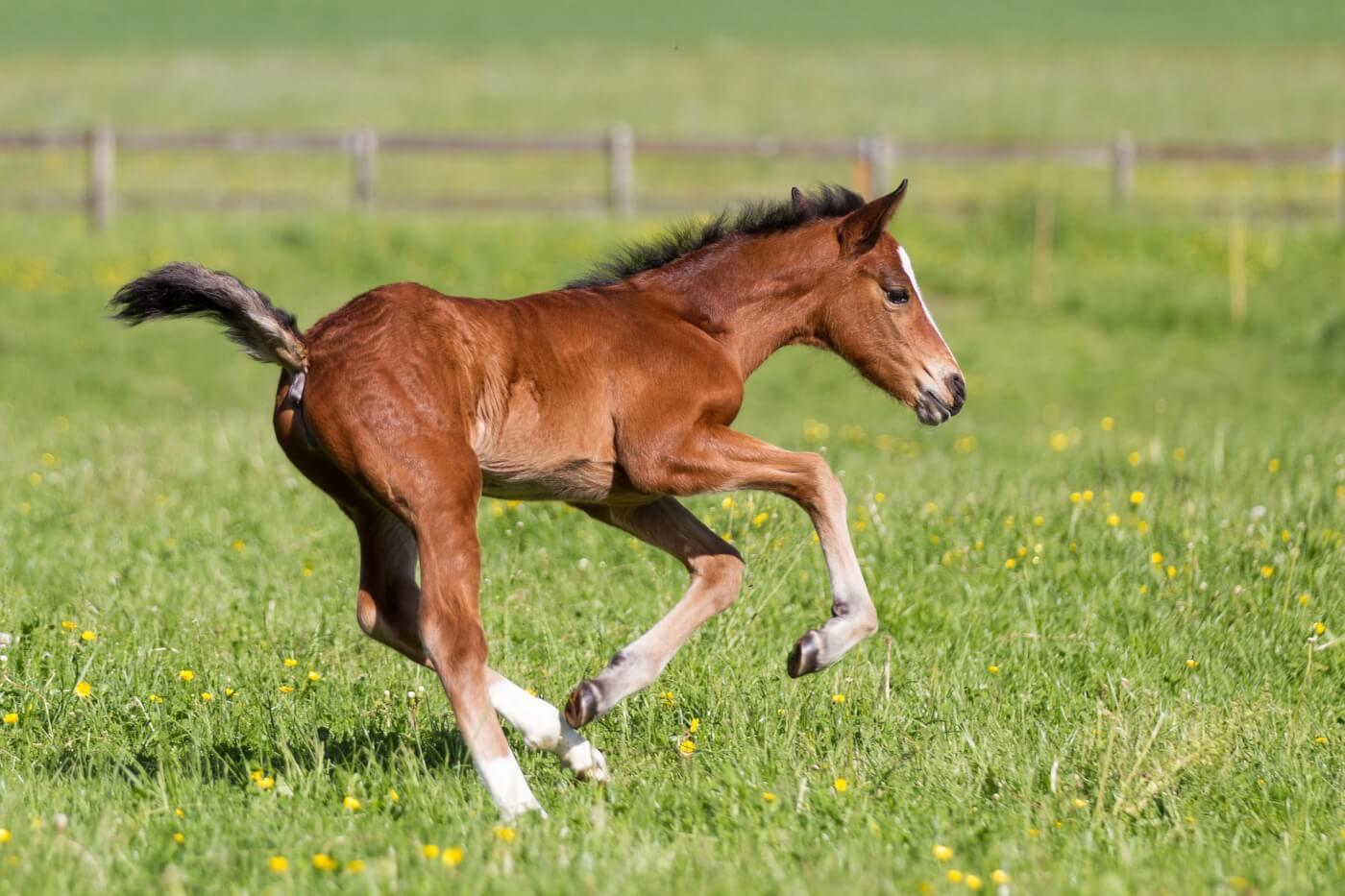 Cute brown foal running across green grass