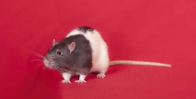 These Cruel Tests on Rats Will Make You See Red