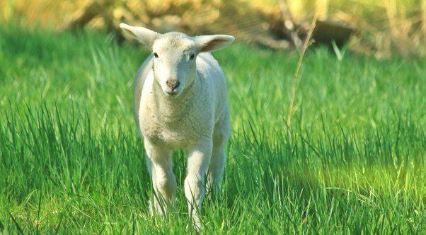 White sheep in tall grass facing camera