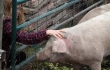petting-through-fence-university-montana-pig