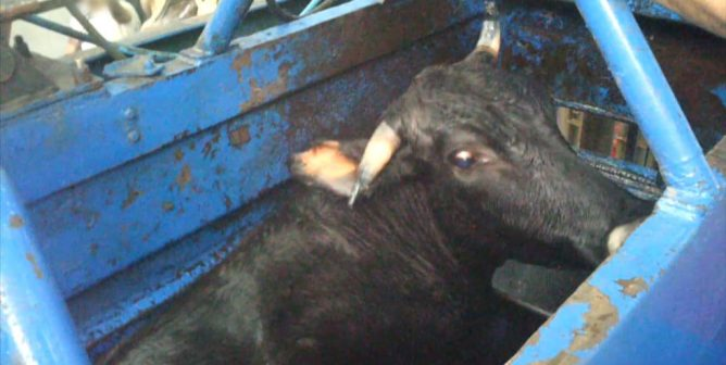 Historic Victory: U.S. Kosher Authority Bans 'Shackle and Hoist' Slaughter