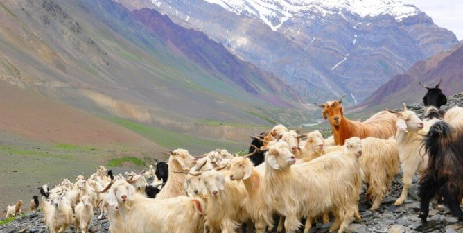 When You Learn Where Cashmere Comes From, You Might Be Sick