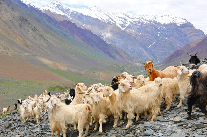 where does cashmere come from