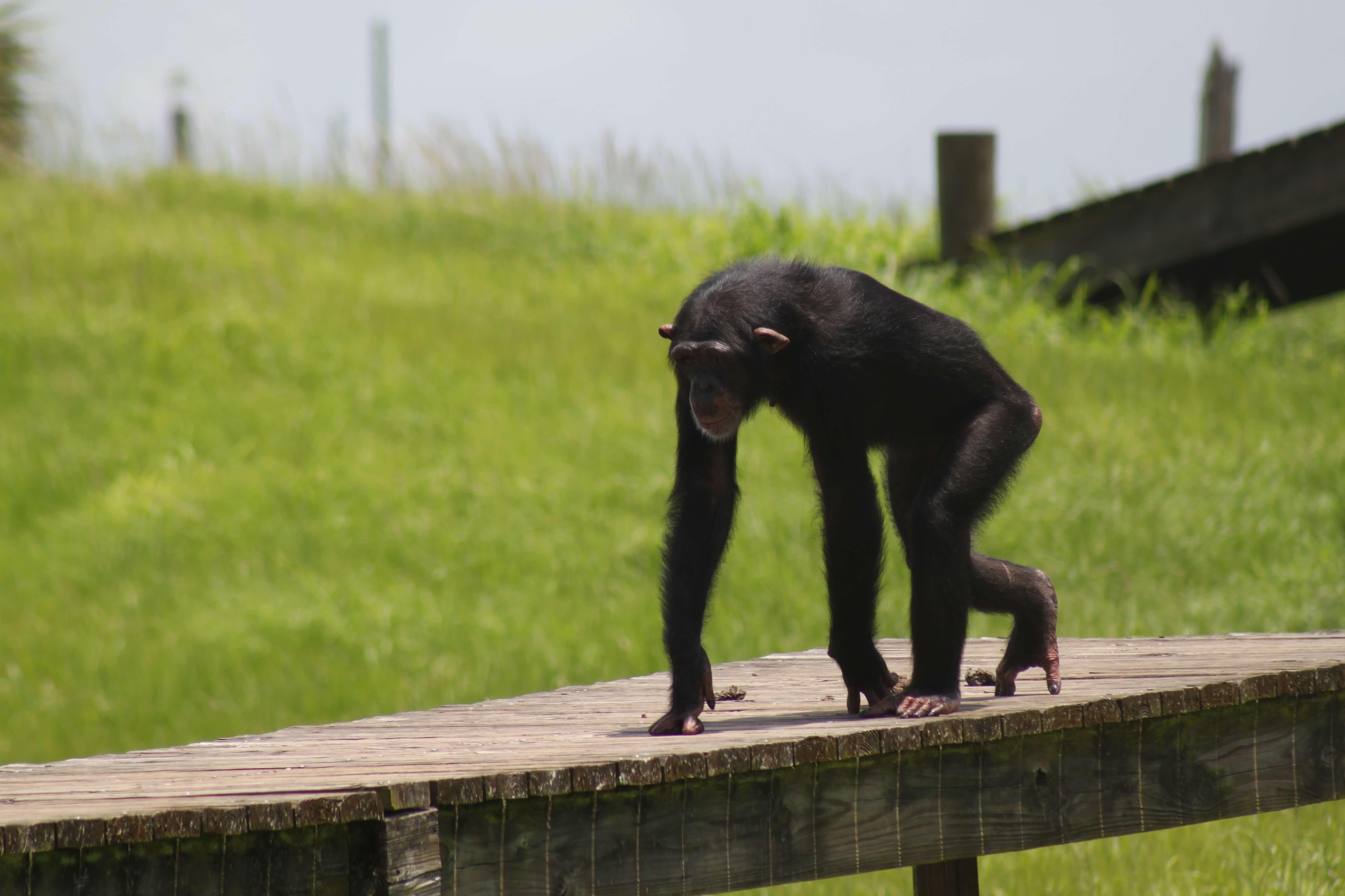lisa marie chimpanzee