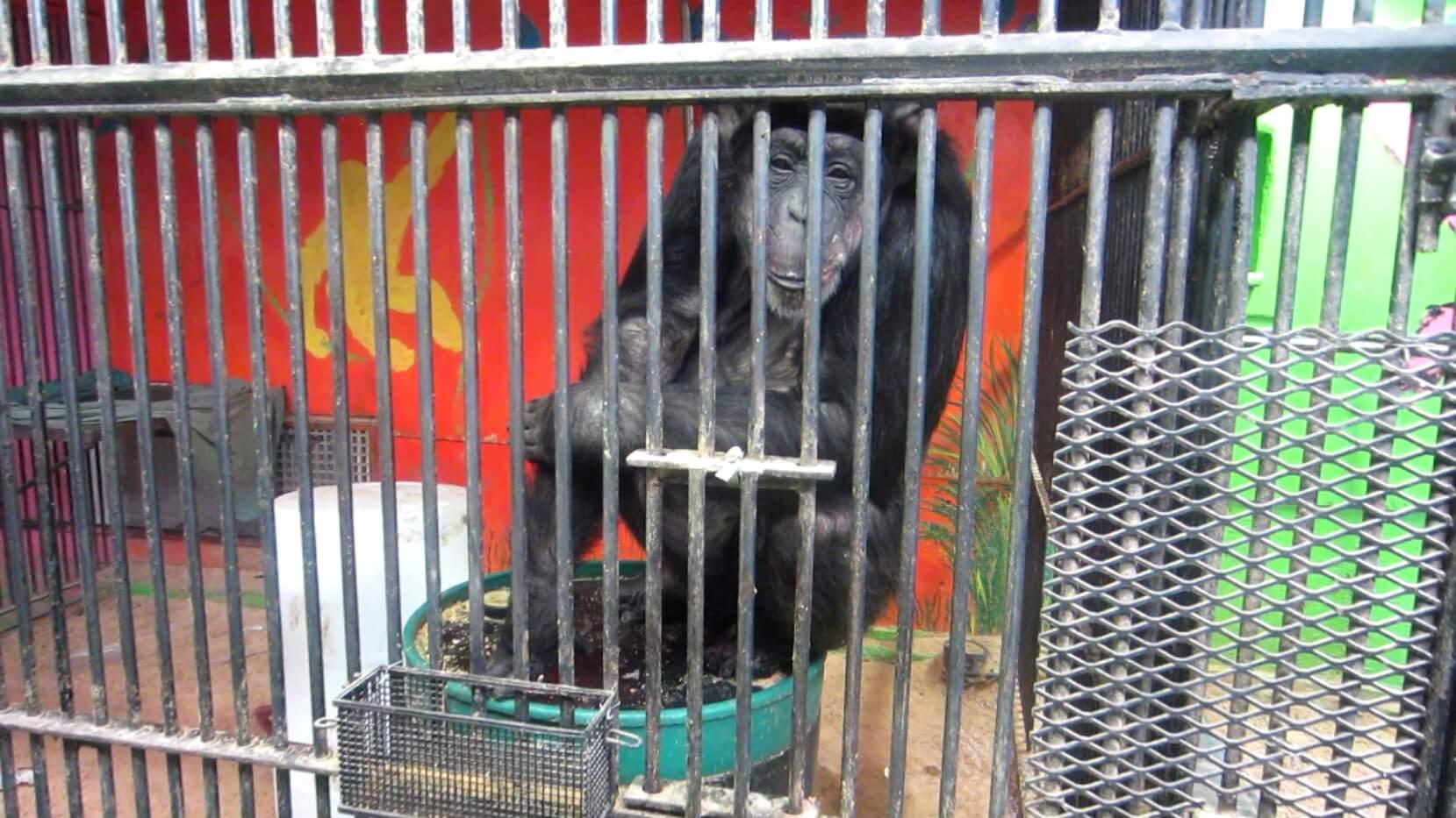 tammy chimpanzee