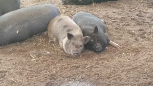 Pigs rescued from Darlynn's Darlins by PETA