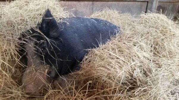 Pig rescued from Darlynn's Darlins by PETA