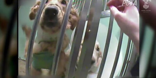 'The Suffering Is Real': Behind the Locked Doors of a Dog Laboratory