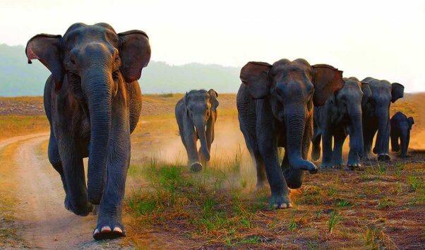 Herd of Asian elephants