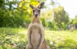 Man Who Punched Kangaroo Being Investigated