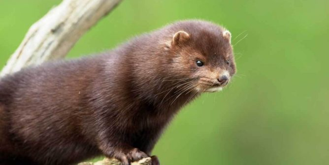 Much to 'Mink' About: 8 Things You May Not Know About Minks
