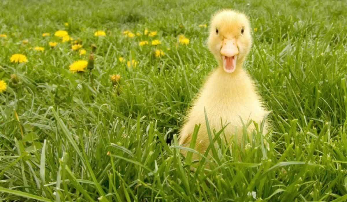 Cute happy duckling