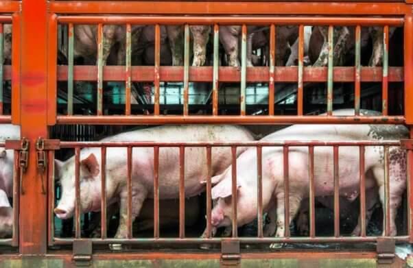 Pigs on truck headed to slaighterhouse