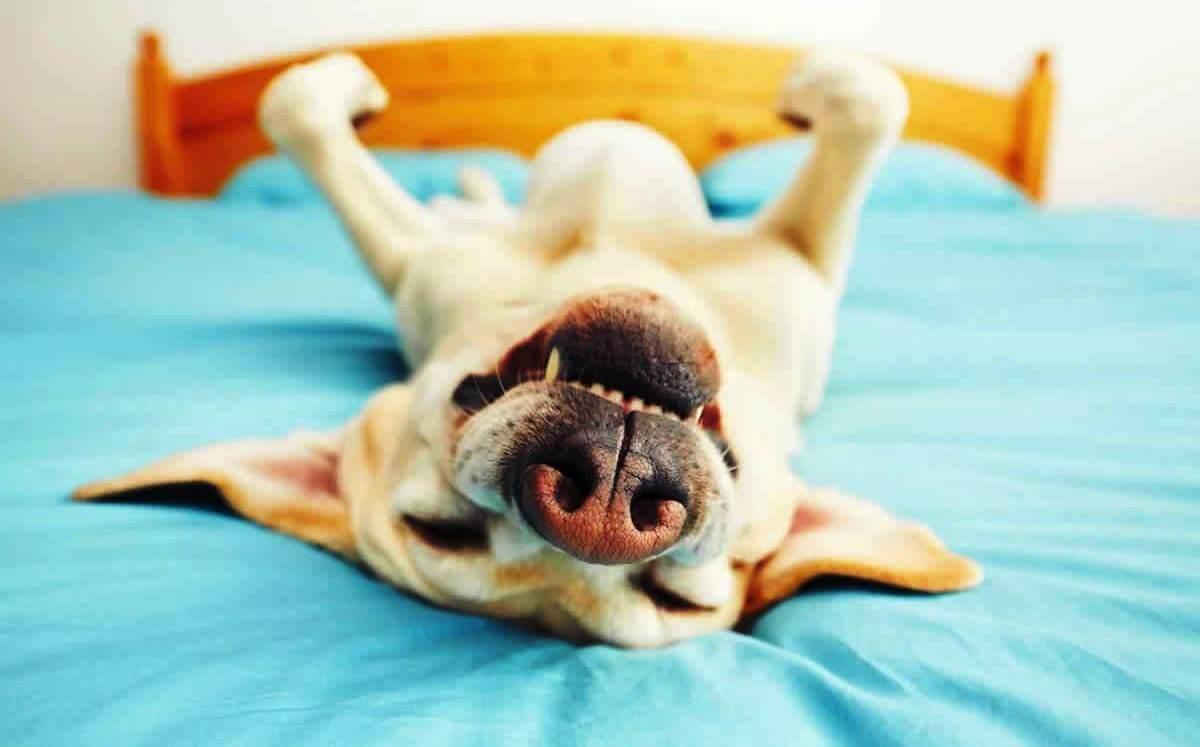 Funny dog lying on back on bed