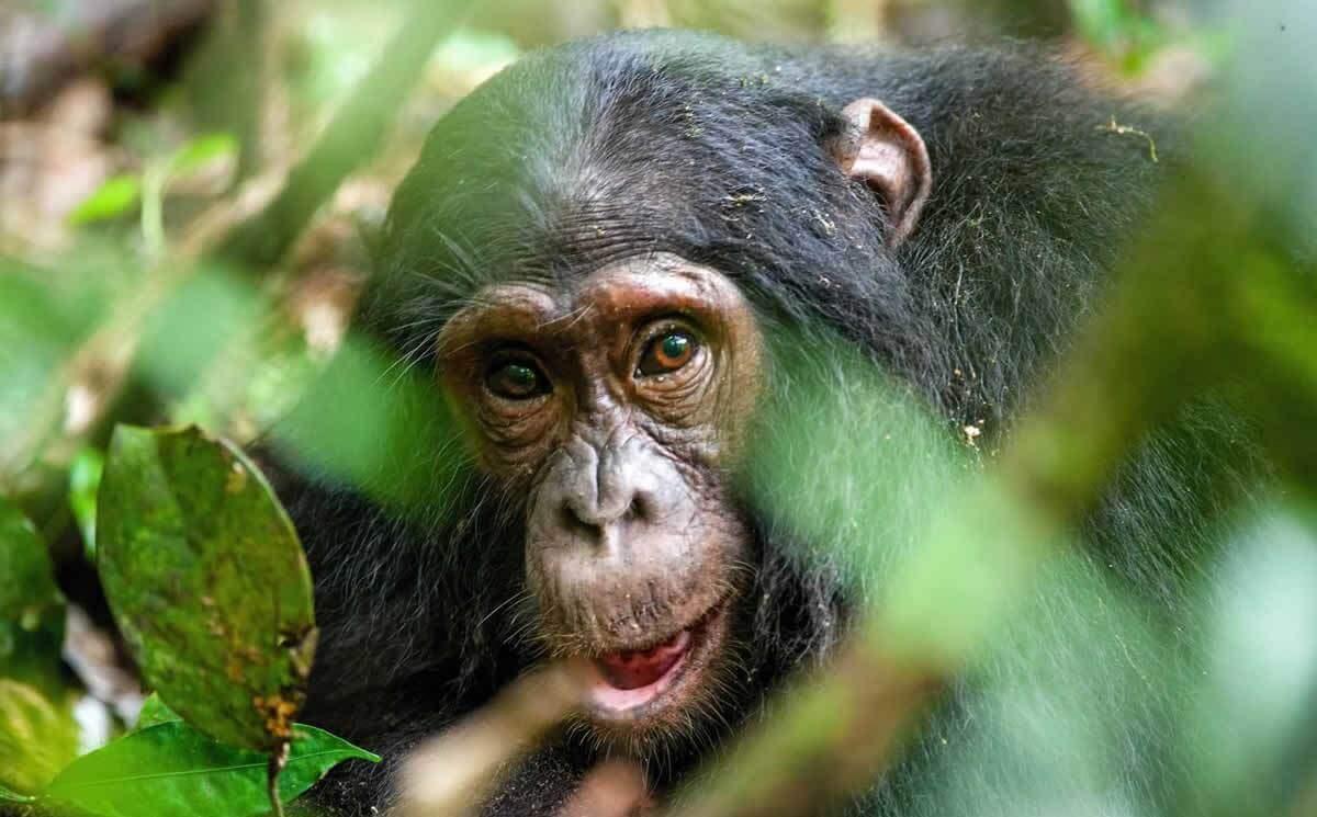Urge American Greetings to Help (Not Hurt!) Endangered Apes