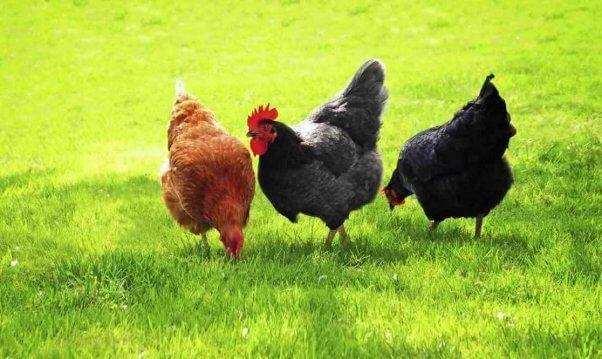 Three pretty chickens