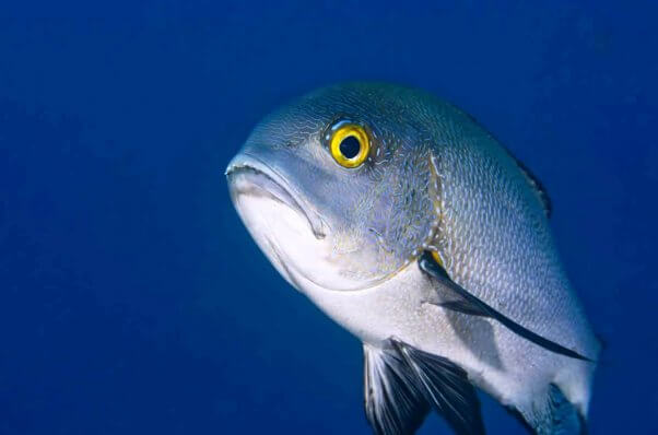 Midnight snapper fish