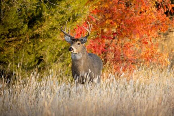 Deer Whitetail Buck