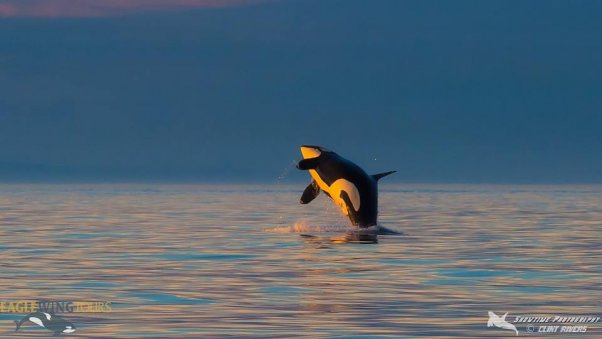 Southern Resident orca J2, known as Granny