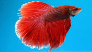 Victory! San Diego's Pearl Hotel Stops Exploiting Betta Fish