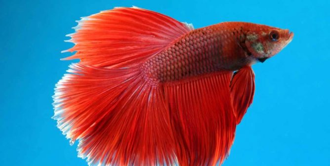 Here's Why Selling Betta Fish as Décor Is Just Plain Morally Bankrupt