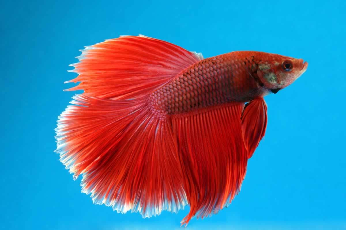 Planning to buy betta fish watch this shocking video for Buy betta fish