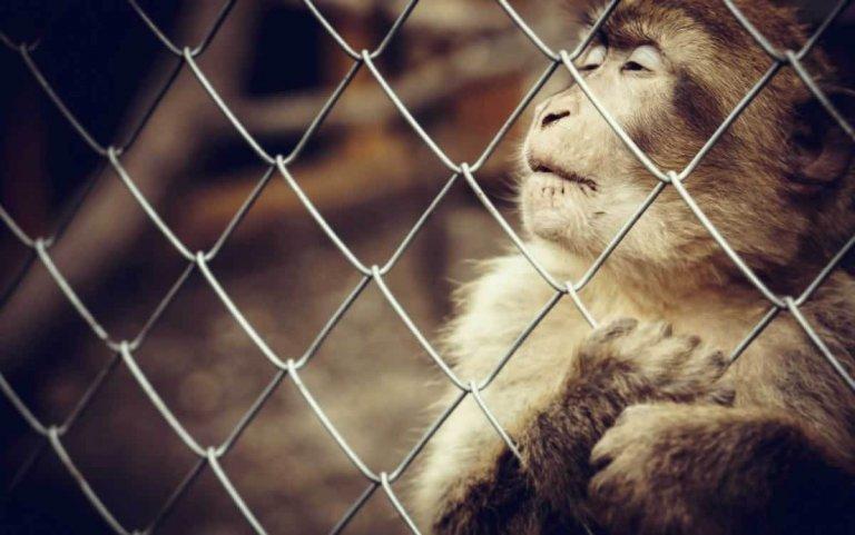 Sad monkey behind bars in zoo